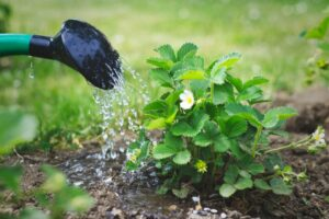 Erdbeerpflanze Wird Gegossen