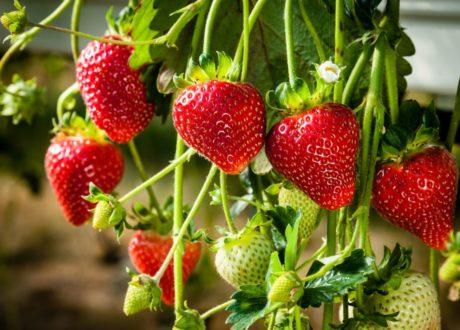 Hängende Reife Erdbeeren