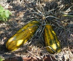 Gestreifte Zucchini Ernten