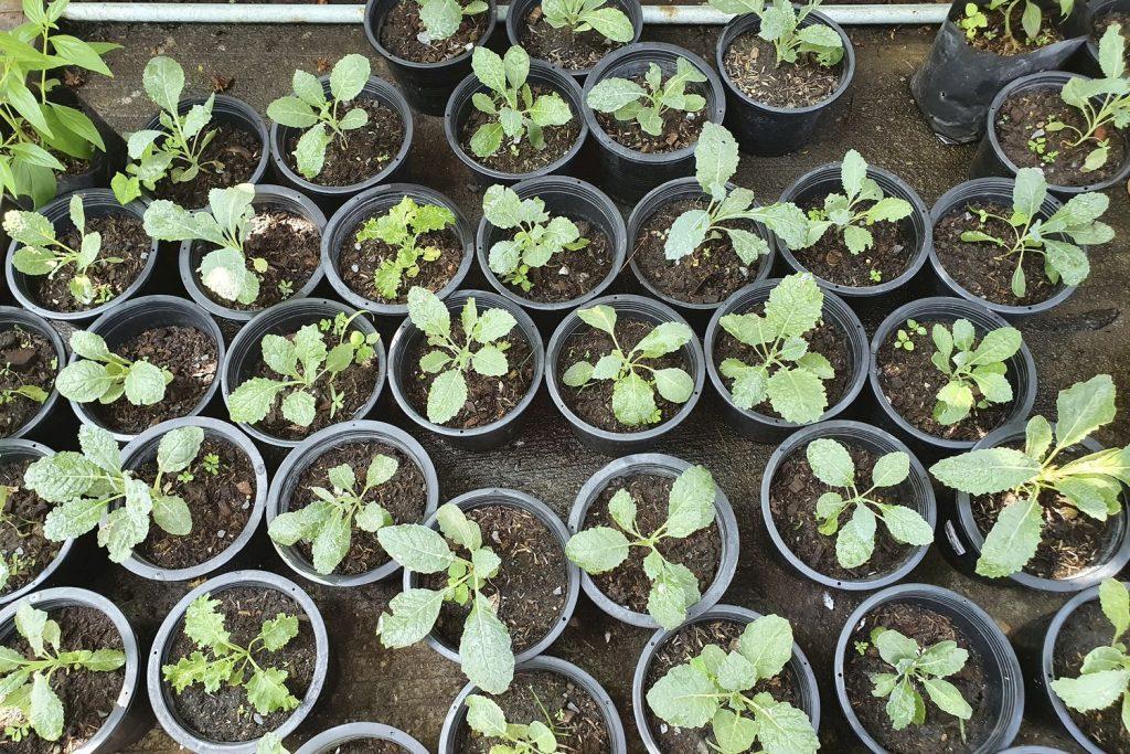 junge Grünkohlpflanzen