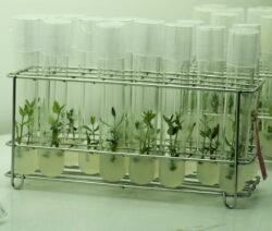 In Vitro Methode Pflanzen Klonen Vermehren Im Labor