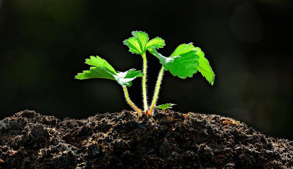 junge Erdbeerpflanze