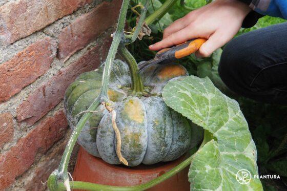 Kürbis ernten und lagern: Tipps zu Erntezeit & Haltbarmachen