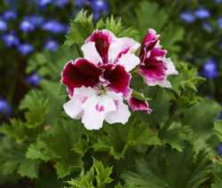 Pelargonium Grandiflorum Edelgeranie Lila Weiße Blüte
