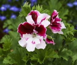 Pelargonium Grandiflorum 3