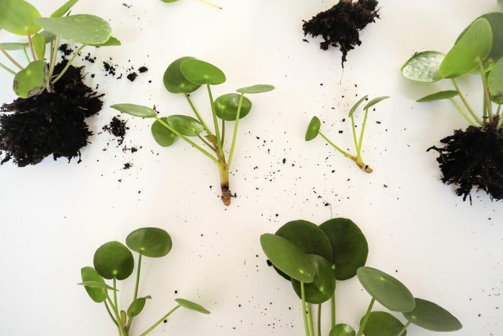 vegetative Vermehrung von Pilea