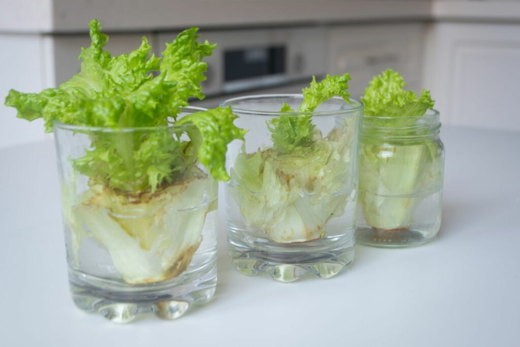 Gemüse-Regrowing
