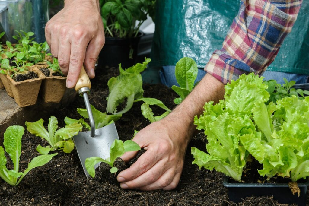 Einpflanzen von Salat