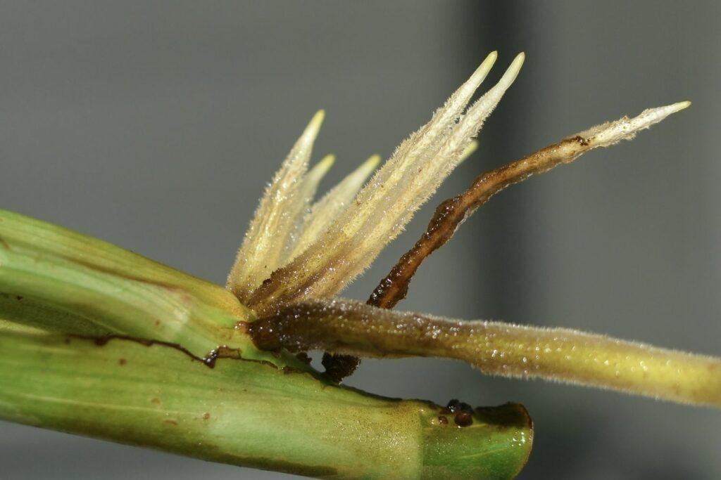 Stecklingsvermehrung