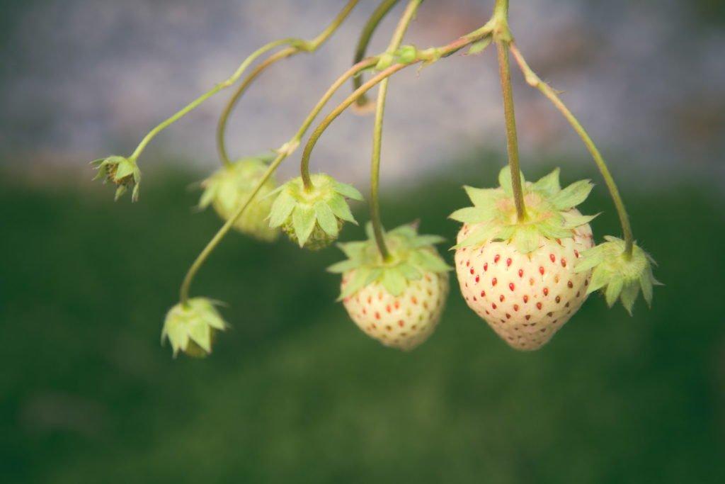 Erbeerensorte mit weißen Beeren
