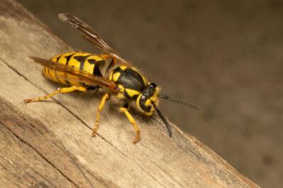 Wespenstich: Wie man ihn vermeiden und behandeln kann