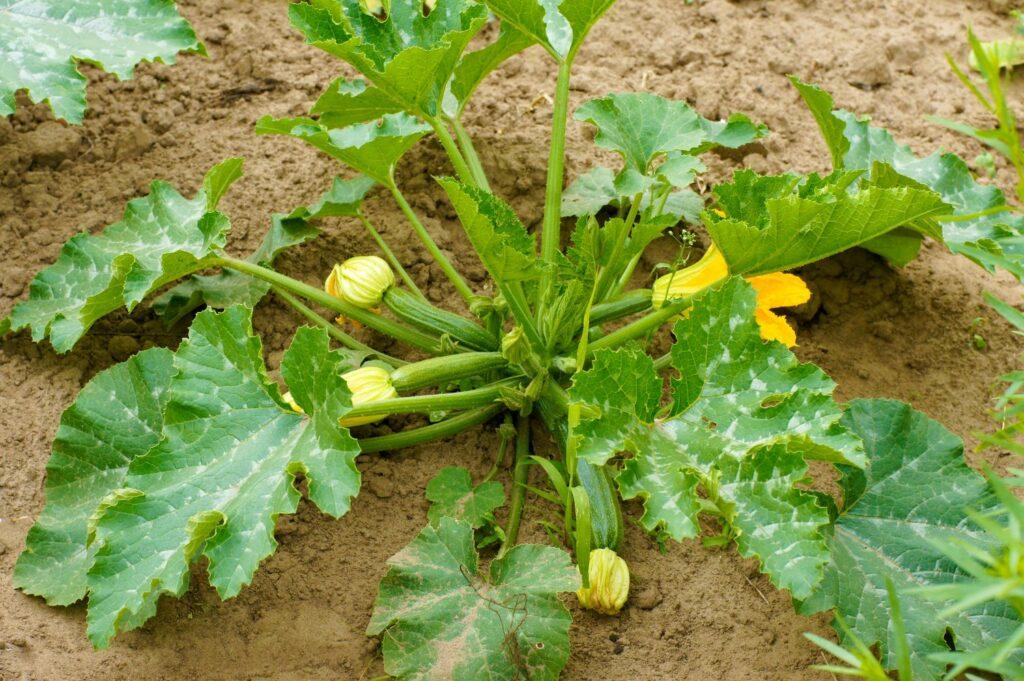 Anbau der Zucchini