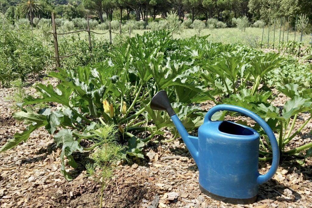 Gießen der Zucchini