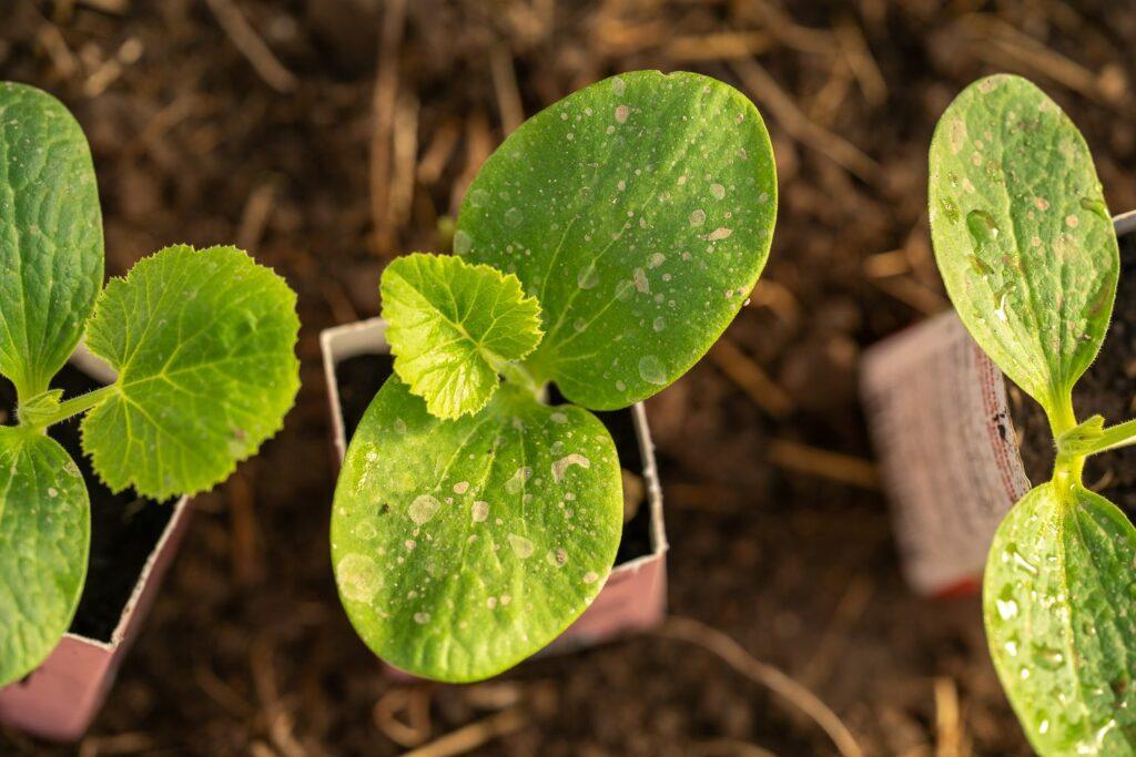 junge Zucchini-Pflanze