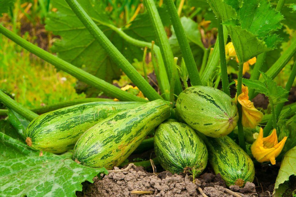 Zucchinis im Beet
