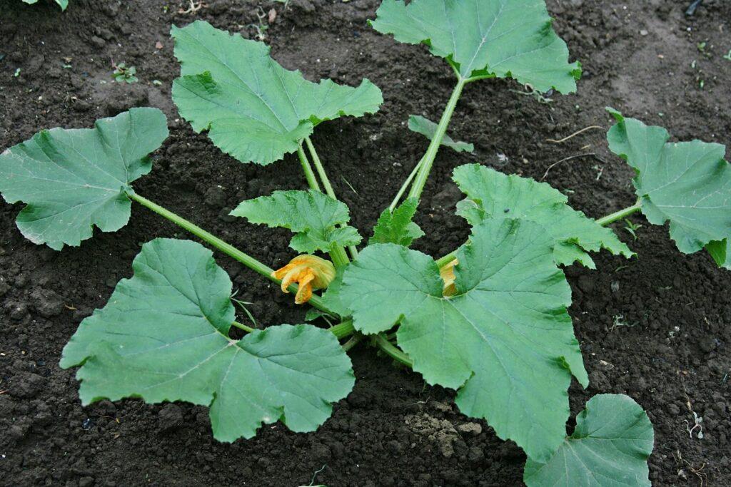 Zucchinipflanze im Beet