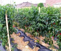 Chili Im Feld Anbauen Mulchfolie