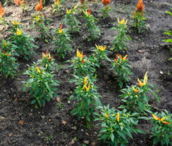 Chilis Im Beet Pflanzen