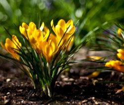 Crocus Chrysanthus 1