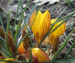 Crocus Chrysanthus 2