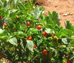 Habenero Pflanze Im Beet