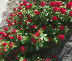 Kletterrose An Hauswand