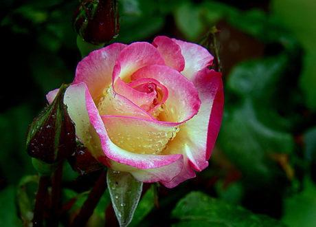 Kletterrose Blüte Farbverlauf