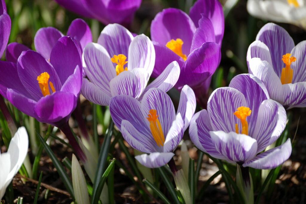 Krokus lila gestreift