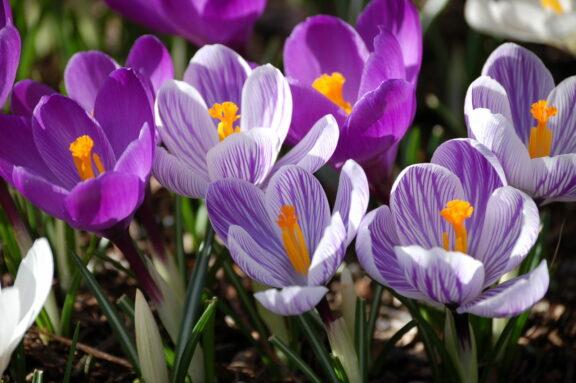 Krokus pflanzen: Die zierliche Blütenpracht im eigenen Garten anbauen