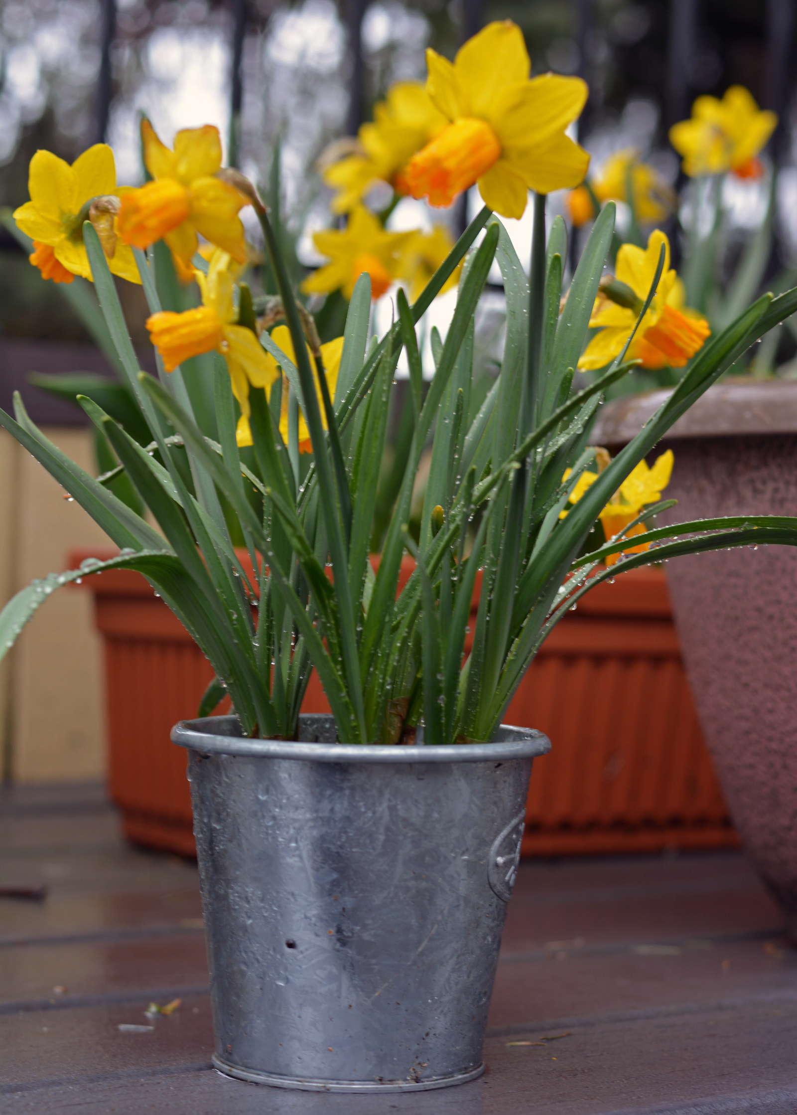 narzissen pflanzen und im eigenen garten anbauen plantura. Black Bedroom Furniture Sets. Home Design Ideas