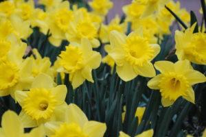 Narzissen Gelbe Blüten