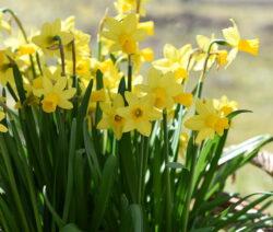 Narzissen Gelbe Blüten In Korb