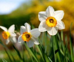Narzissen Weiße Blüten