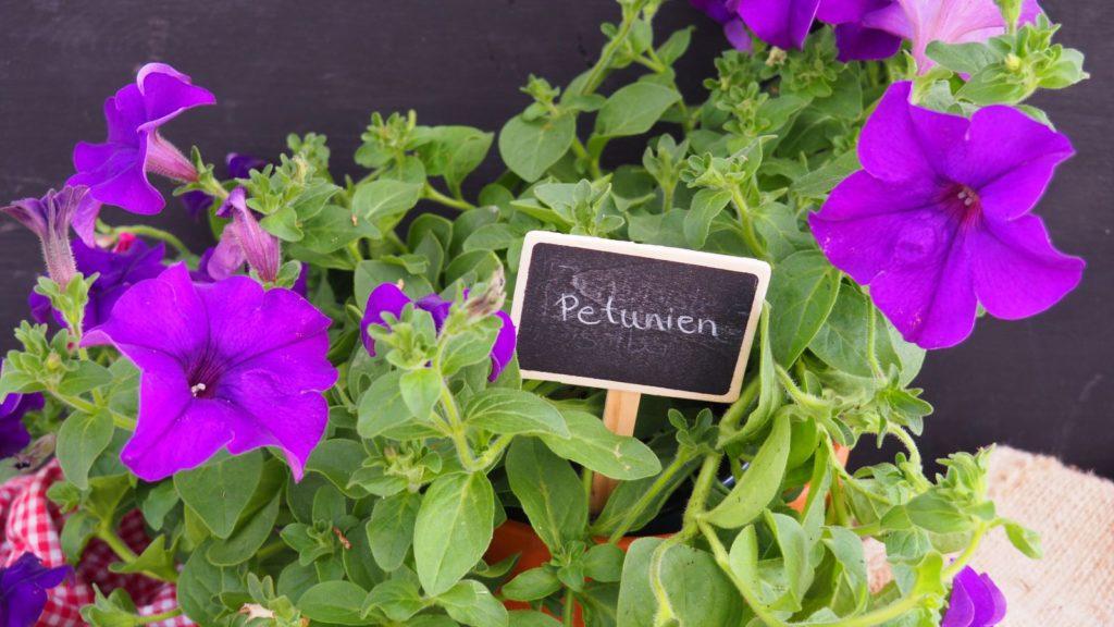 lila Petunien im Topf
