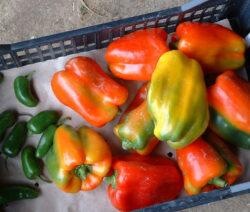 Paprika Ernte Klein Groß Grün Orange Gelb Rot In Kiste