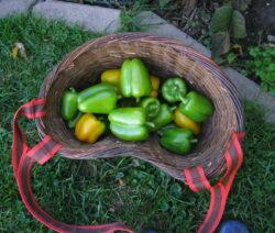 Paprika Ernte Grüne Und Gelbe Paprika In Korb