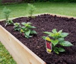 Paprika Hochbeet Pflanzen
