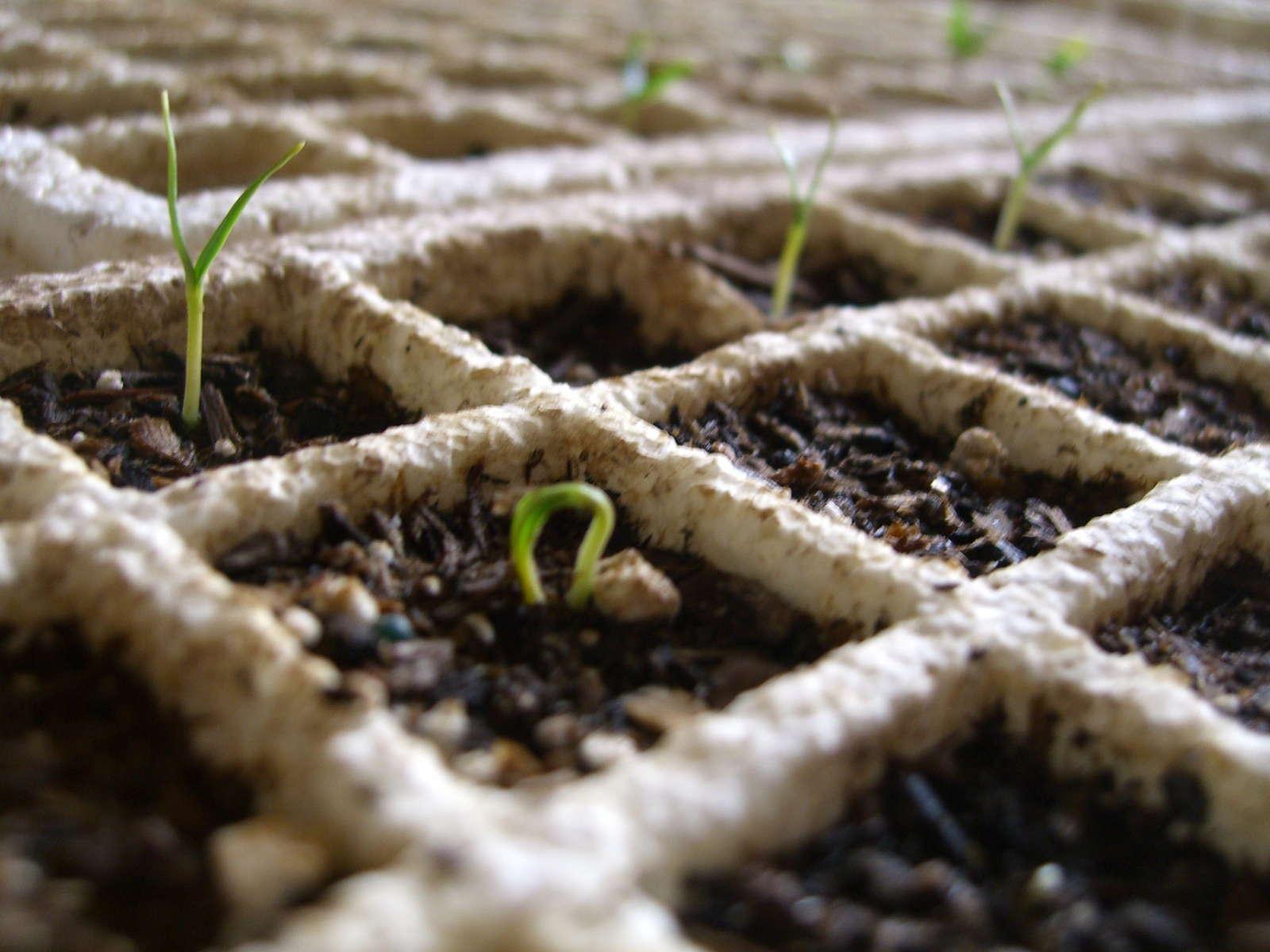 paprika pflanzen paprikaschoten aus dem eigenen garten plantura. Black Bedroom Furniture Sets. Home Design Ideas