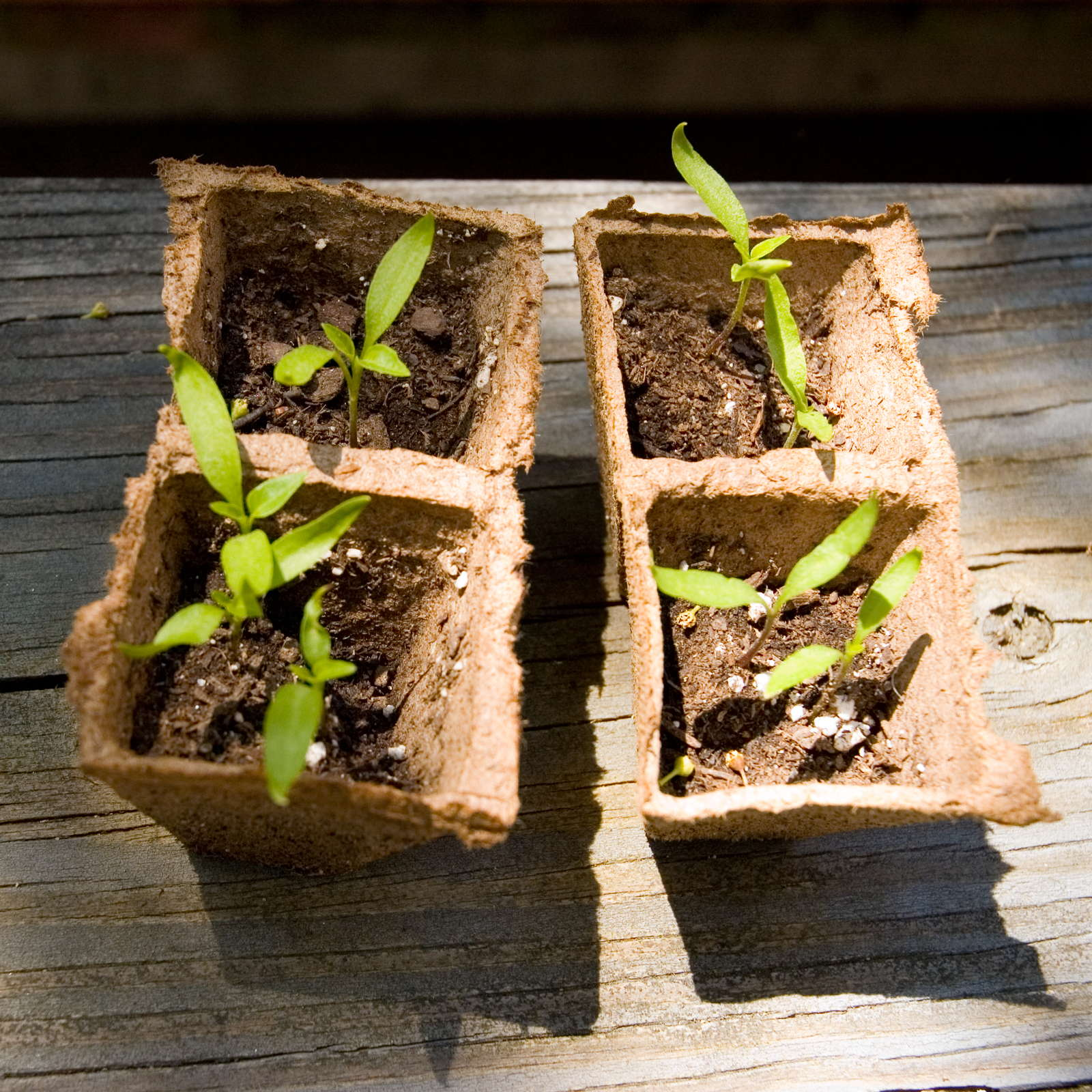 paprika pflanzen paprikaschoten aus dem eigenen garten. Black Bedroom Furniture Sets. Home Design Ideas