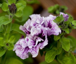 Petunie Blüte Gefüllt