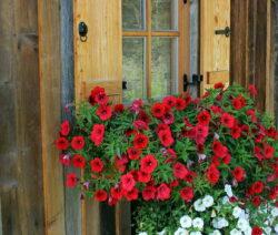 Petunie Fensterbank 1