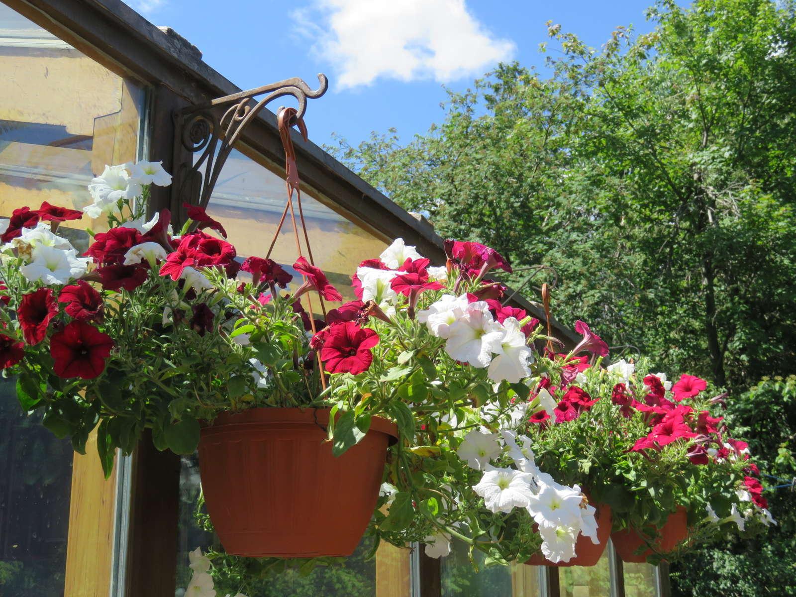 Super Petunien anbauen: Hängende und stehende Petunien im Garten - Plantura #QD_71