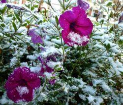 Petunias, First Snow