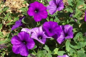Petunie Lila Blüte In Beet