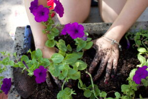 Petunie Pflanzen Hände Mir Erde Pflanzen Petunie In Trog