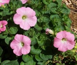 Petunie Pflanzen 2