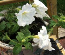 Petunie Pflanzen 5