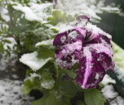 Petunie Schnee 1