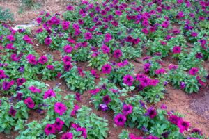 Petunien Im Beet Lila Blüten