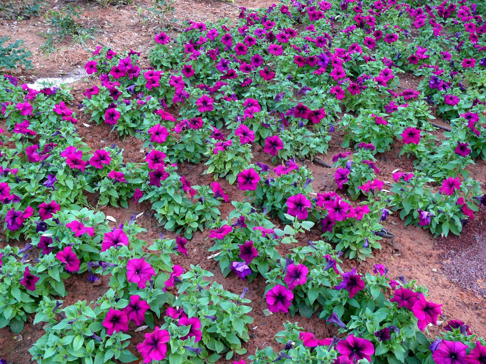Lieblings Petunien aus Samen oder durch Stecklinge vermehren - Plantura &RP_19